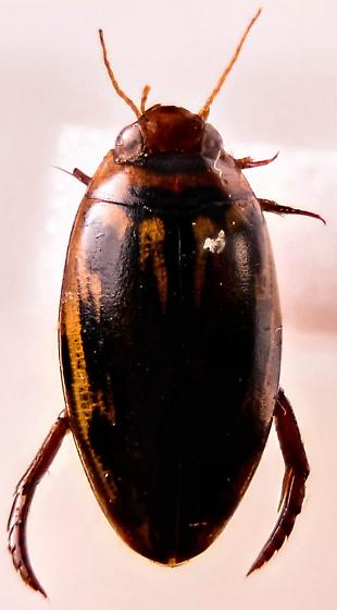 Nice small water beetle. - Coptotomus