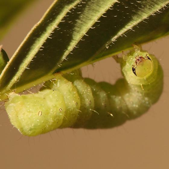 Caterpillar on Euphorbia dentata - Megalographa biloba