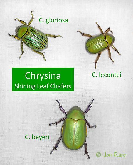 Chrysina
