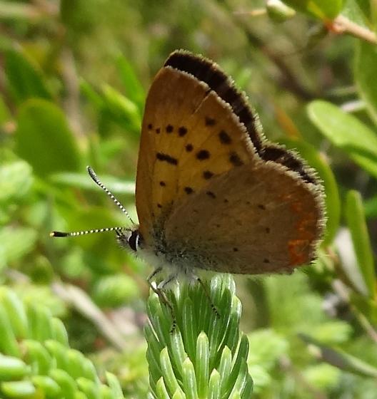Dorcas Copper? or Purplish? - Lycaena dorcas