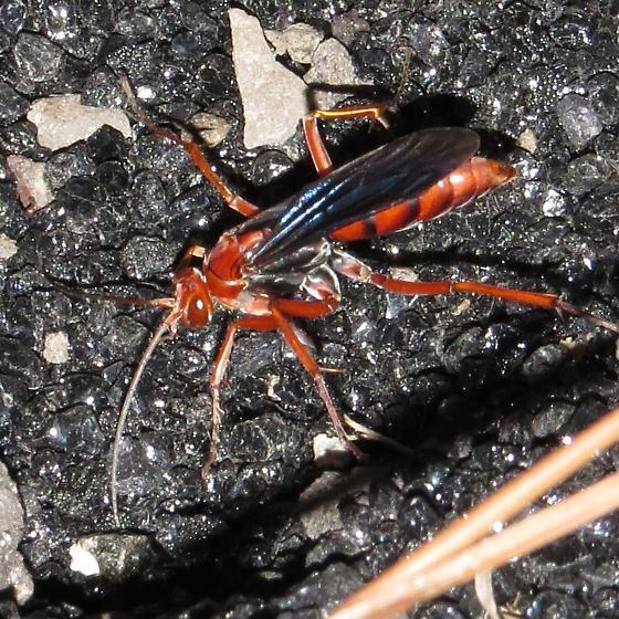 Pompilidae - Tachypompilus ferrugineus - female
