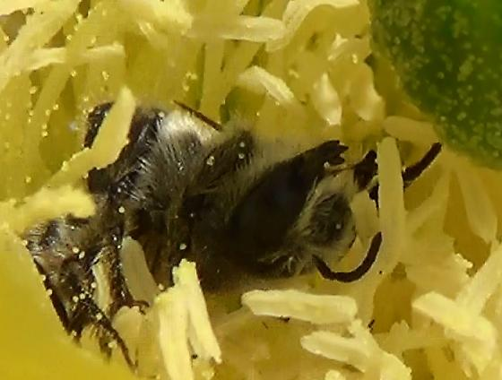 Mason Bee With Green Neck & Long Tongue - Lithurgopsis - male