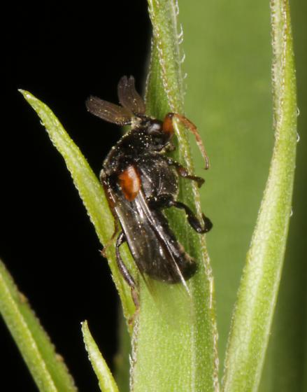 Ripiphoridae - Ripiphorus - male