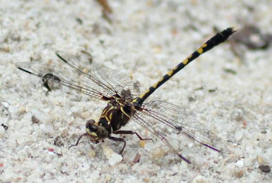 Belle's Sanddragon - Progomphus bellei - male