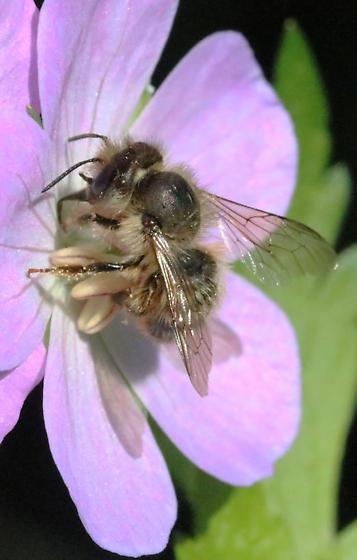 hairy osmia of wild geranium - Osmia cornifrons - female