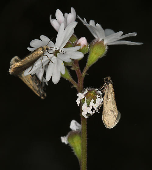 gray moths on Lithophragma parviflora - Greya politella