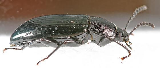 darkling beetle - Centronopus calcaratus - female