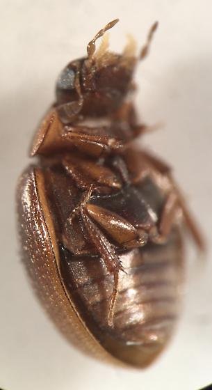 beetle - Cercyon adumbratus