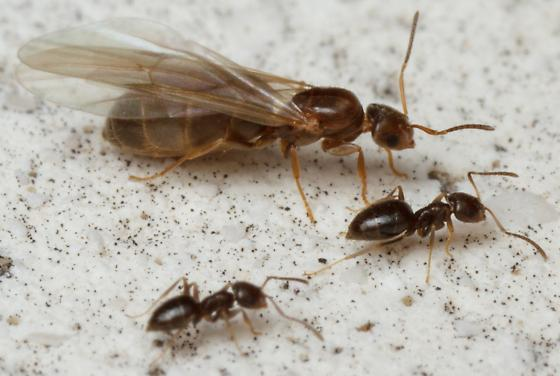 Brachymyrmex patagonicus? - Brachymyrmex patagonicus