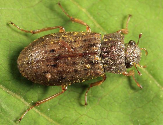 Helophorus grandis? - Helophorus grandis