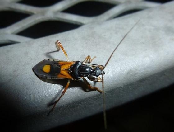 Assassin bug?  - Rasahus biguttatus