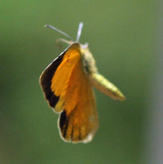 What kind of butterfly is this? - Abaeis nicippe