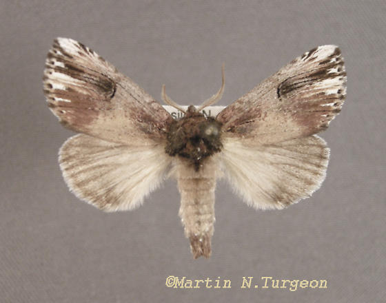 Notodontidae - Prominent Moths 8006   - Schizura badia