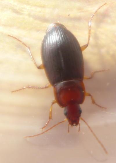 unknown beetle - Calathus ruficollis