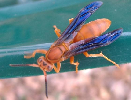 Red Wasp - Polistes - female
