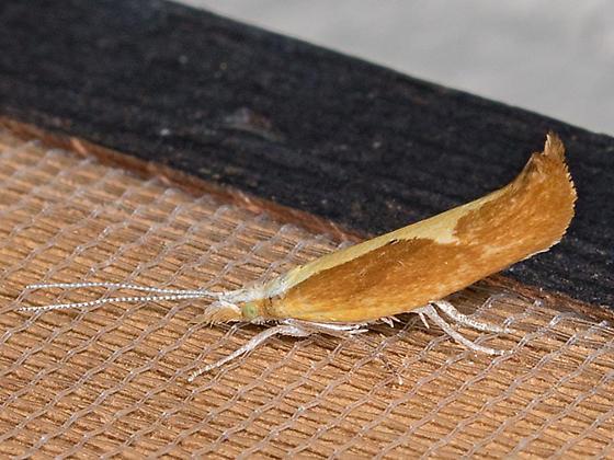 Ypsolopha - Ypsolopha dentiferella