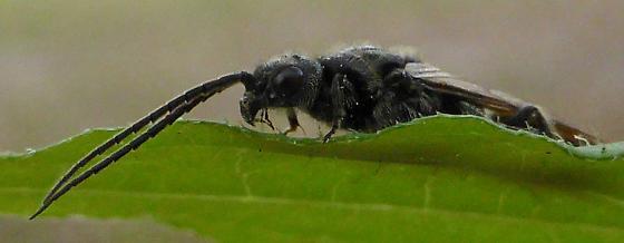 Wasp? - Pristepyris