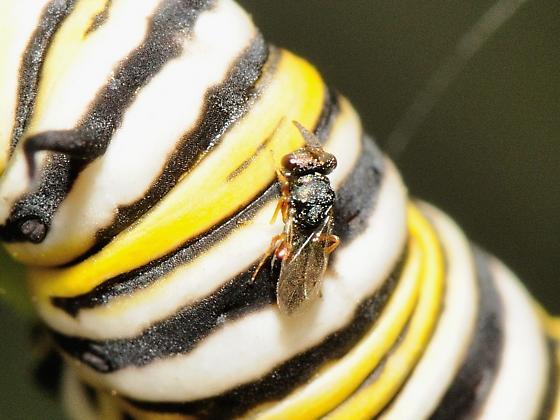 Parasitization of Monarch Butterfly Caterpillar - female