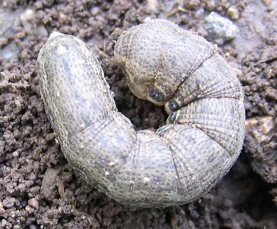 Mystery catapillar - Proserpinus terlooii