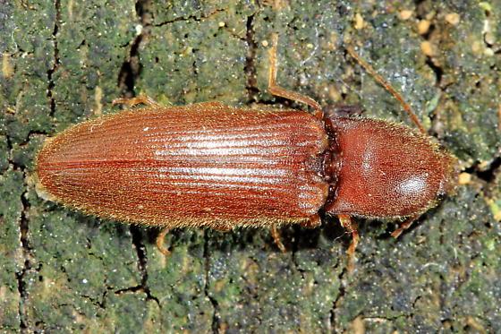 Click Beetle - Athous