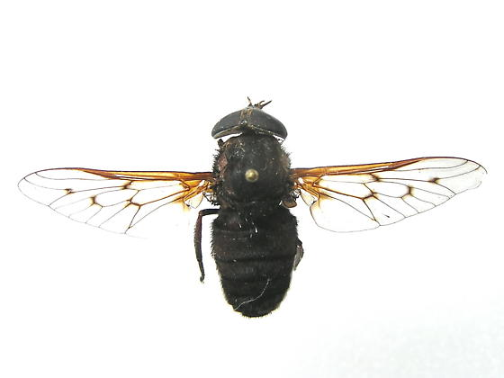 Unknown Horsefly - Agkistrocerus finitimus - female