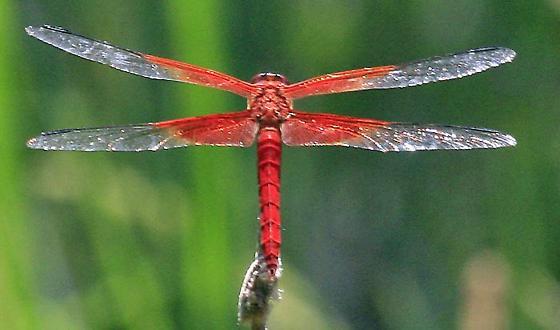 Red-mantled Skimmer Libellula gaigei - Libellula gaigei - male