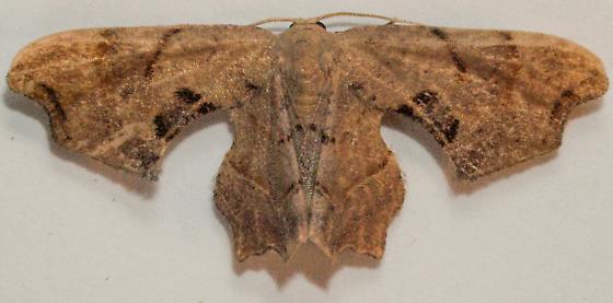 Moth to porch light  - Calledapteryx dryopterata