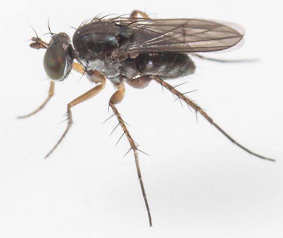 Fly - Pelastoneurus lugubris - male