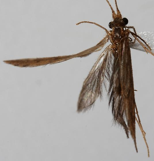 trichoptera of some sort