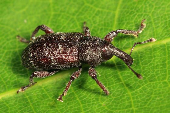 weevil - Hylobius congener