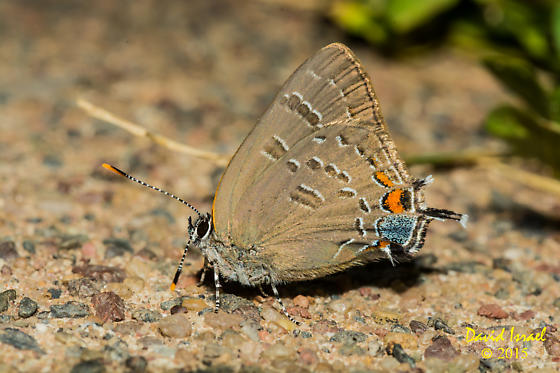 Edwards Hairstreak? - Satyrium calanus