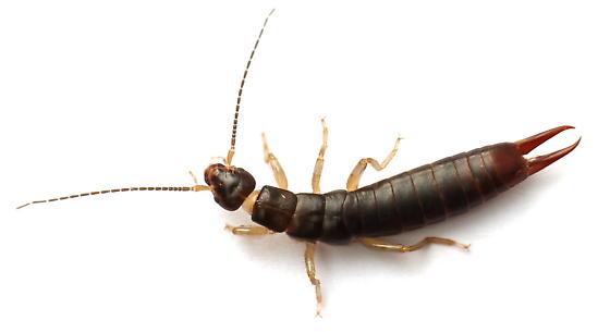 Anisolabis maritima - female