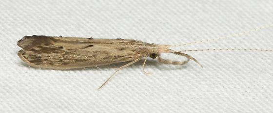 Long-horned Caddisfly