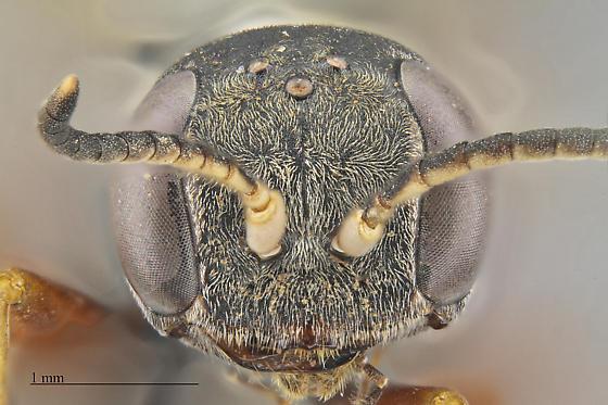 Mellinus - Mellinus rufinodus - male
