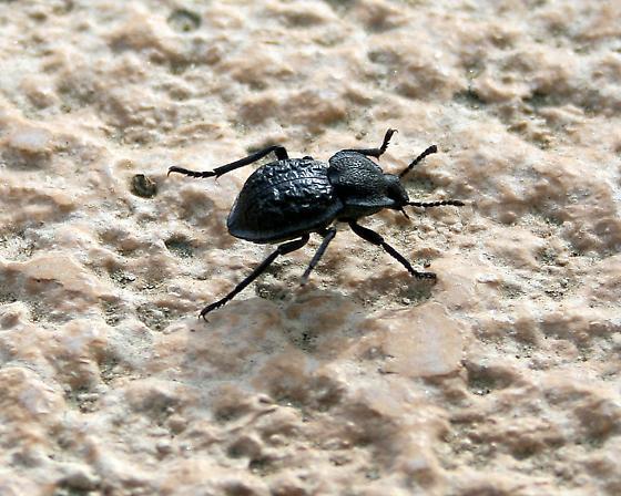 Carved Darkling Beetle - Microschatia inaequalis