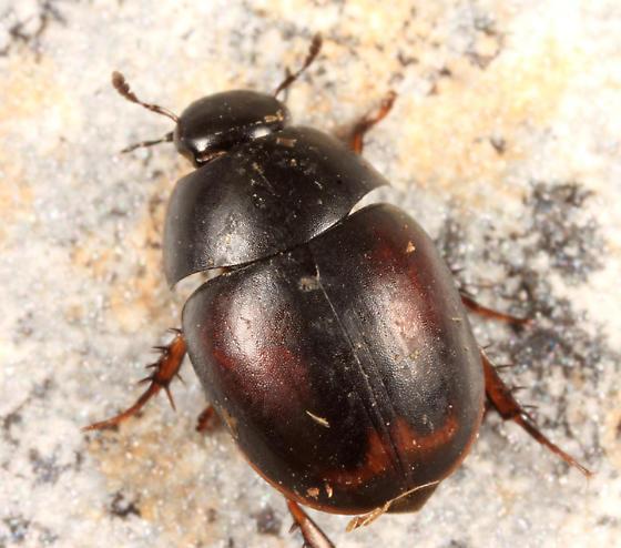 Water Scavenger Beetle - Sphaeridium bipustulatum