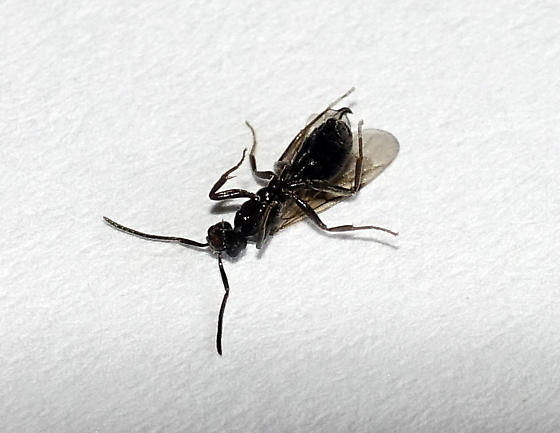 Small Black Ant With Wings In Oregon Bathroom Tapinoma Sessile Bugguide Net