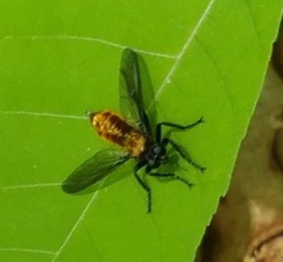 Fly 1 - Laphria