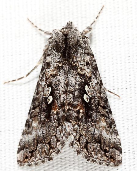 Dusky Silver Y - Syngrapha octoscripta