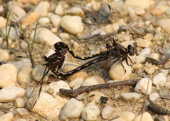 Mating pair of sanddragons - Progomphus obscurus - male - female