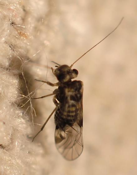 teeny tiny little louse - Indiopsocus bisignatus