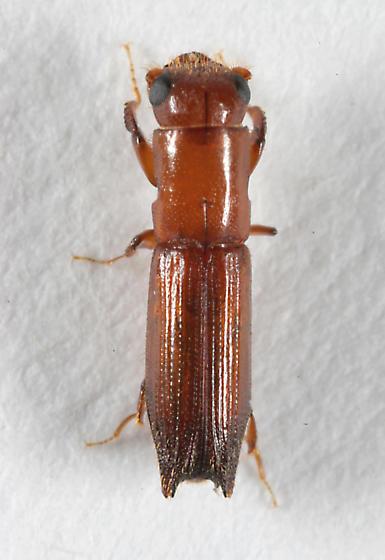 Beetle, Pinhole Borer - Euplatypus compositus