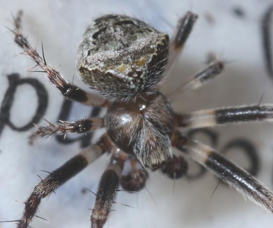 mystery spider - Araneus montereyensis - male