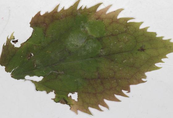 Cecidomyiidae, Zigzag Goldenrod, spots, top of leaf  - Asteromyia modesta