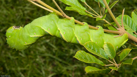 Very Large Caterpillar - Manduca rustica