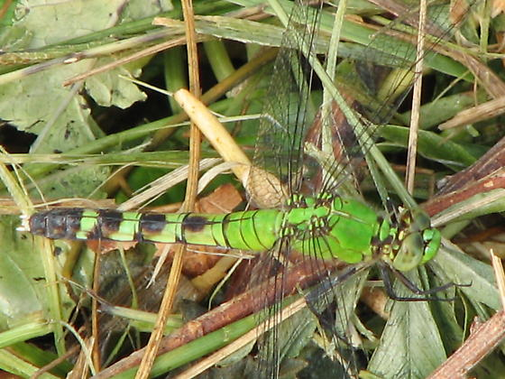 Dragonfly? - Erythemis simplicicollis - female