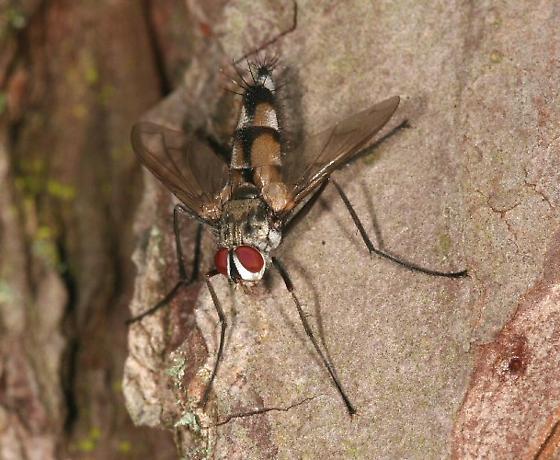 PJ Fly - Zelia vertebrata - male
