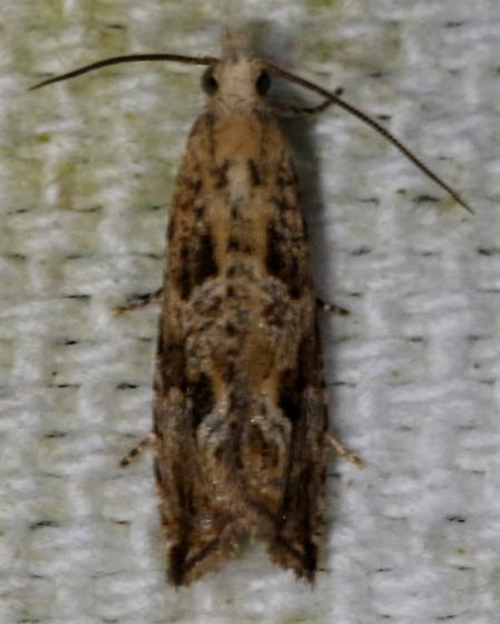Bactra furfurana - Hodges#2706 - Bactra furfurana