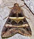 Melipotis perpendicularis  - Melipotis perpendicularis