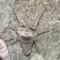 Fall Cankerworm Moth - Hodges#6258 - Alsophila pometaria - female